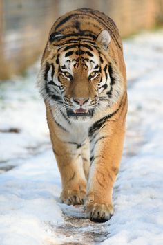 Amur Tiger, Yorkshire Wildlife Park by Lee Adcock on 500px