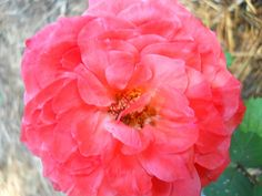 rose in full bloom by Kathy Mereand, via Flickr