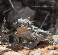 """#Lizards - """"getting too big for it's own skin"""" - Regal Horned lizard in the process of shedding ©Dancing Snake Nature Photography Sabino Canyon"""