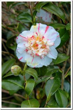 2014 Cottage Gardens Camellia