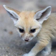Fennec Fox.  Photo credits:Palm Beach Zoo / Brett Bartek