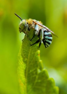 Australian Blue-Banded Bee. Had these in the garden recently.  Beautiful.
