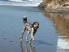 Cleopatra loving the beaches in Cayucos!