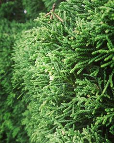 What is this? Very close when you on chrismast 😅 #whpstripes #natureza #nature #photography #theweekoninstagram #spruce
