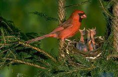cara merawat burung,kenari lokal,ternak,termahal,juara nasiaonal,