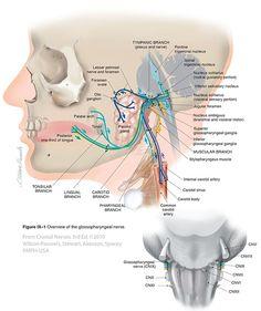 Glossopharyngeal IX - Cranial Nerves