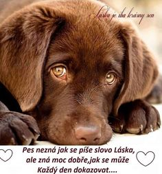 Mind Blowing Facts About Labrador Retrievers And Ideas. Amazing Facts About Labrador Retrievers And Ideas. Cute Puppies, Cute Dogs, Dogs And Puppies, Doggies, Chocolate Lab Puppies, Chocolate Labs, Labrador Retriever Dog, Chocolate Labrador Retriever, Brown Labrador