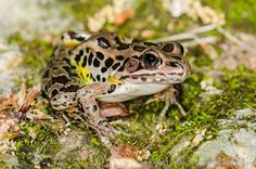 #frogOTD Rana (Lithobates) palustris, Pickerel #Frog overwinter in the mud bottoms of unpolluted ponds @AmphibiaWeb