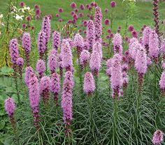 Liatris spicata kobold: This compact selection of the prairie native is a welcome addition to the mid-summer garden. At only 24-30in high, 'Kobold' almost qualifies as a dwarf, and definitely belongs near the front of the border.