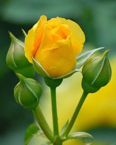 """ very beautiful rose thanks! Beautiful Rose Flowers, Love Rose, Amazing Flowers, Beautiful Flowers, Rose Flower Pictures, Blossom Garden, Flower Wallpaper, Rose Buds, Yellow Flowers"