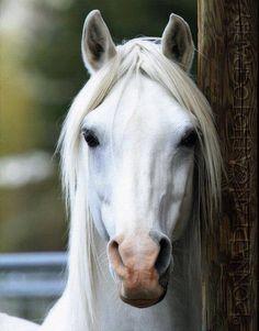 CMK Arabian Stallion
