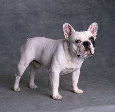 french bulldog | Fransız Bulldog fotoğraflarına bakın.