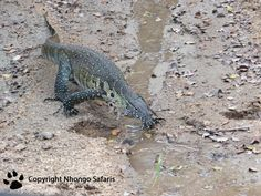 Water monitor Kruger National Park, National Parks, View Photos, Monitor, Safari, Water, Pictures, Animals, Gripe Water