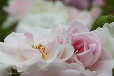 Oh, My, Raindrops on Roses!   Flickr - Photo Sharing!