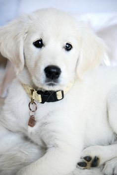 Rio the Golden Retriever #white