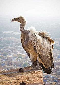 White-rumped vultures   (Gyps bengalensis) were once a familiar sight in the cities of southern Asia, with a population numbering millions, but its numbers plummeted fast in the 1990s. It was discovered that an anti-inflammatory drug used to treat injured cattle was to blame. When the cattle died, the vultures would ingest the drug and suffer a slow, painful death