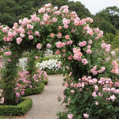 Strawberry Hill - Most Fragrant Climbing Roses - Fragrant Roses Beautiful Roses, Beautiful Gardens, Romantic Roses, David Austin Rosen, Strawberry Hill, Strawberry Garden, Dream Garden, Garden Plants, Roses Garden
