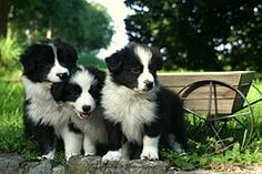 Cachorros de Border Collie