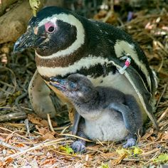 Congrats to my Magellanic penguin friends; they're the proud parents of this cute bundle of joy! pic.twitter.com/eLyn8Cr4pK