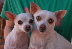 Candy & Susanna are tender-hearted soul-mates, bonded for life. With their previous owners' divorce, the girls lost everything, but each other. They are Chihuahuas, 3 & 4 years of age, spayed, housetrained, good with dogs and older kids, and ready for adoption at Nevada SPCA (www.nevadaspca.org). Please help us find them a very gentle, stable home for life.