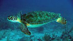 Green Sea Turtle Underwater Scene Hd Wallpapers For Mobile Phones ...