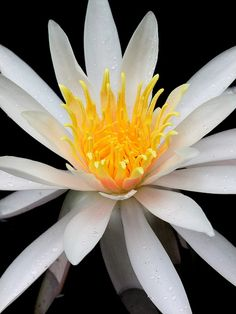 water Lily, via Flickr.