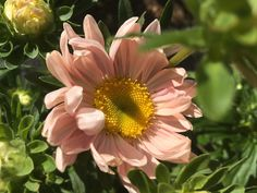 Aster chinois - Tower Chamois