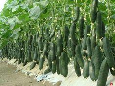 Секреты выращивания 9 кг огурцов с куста | Твоя Дача | Яндекс Дзен