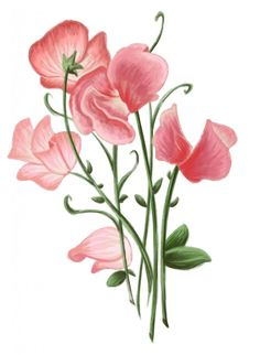 how+to+draw+a+sweet+pea+flower | sweetPea-749x1024.jpg