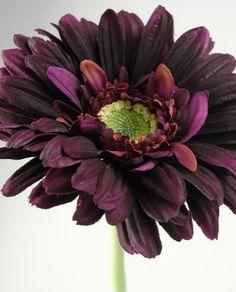 Dark violet gerbera daisy