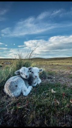 Lambs...looks like a rugged environment! Where's their mom