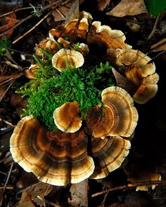 Turkey Tail Mushrooms (Trametes versicolor) ~ Curbstone Valley Farm