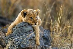 If you're keen to see all of the Big Five – elephant, lion, rhino, leopard and buffalo – on your African Safari experience, then Kruger National Park in South Africa is the place to go. Contact me for the best deals: zoraa@travelmanagers.com.au www.holidaysandcruises.com.au #Africa, #Lions