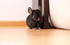 My sweet chinchilla Billy! :) <3