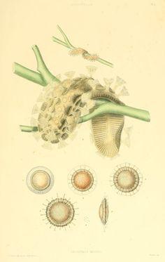 Cristatella mucedo. A monograph of the fresh-water polyzoa  London :Ray Society,1856.  Biodiversitylibrary. Biodivlibrary. BHL. Biodiversity Heritage Library