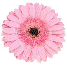 Pink Gerbera Daisy Flower | Dark Center