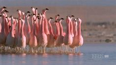 The mating dance of the Chilean Flamingo