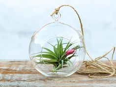 Blooming Aeranthos air plant in a simple glass terrarium.
