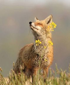 Best collection of cute Fox pictures. These pictures will make you fall in love with the fox all over again. Fox is one of the cutest animals in the universe. Nature Animals, Animals And Pets, Baby Animals, Funny Animals, Cute Animals, Wild Animals, Beautiful Creatures, Animals Beautiful, Fuchs Baby