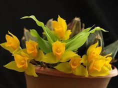 LYCASTE BRADEORUM  ORCHID -  Sweetly Citrus Lemon Scented