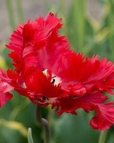 Tulip Red Parrot