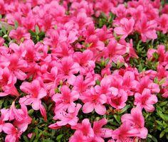 Azalea: Come Coltivarla In Vaso O In Giardino