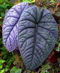 Hort Log: Surreal texture .... Alocasia melo