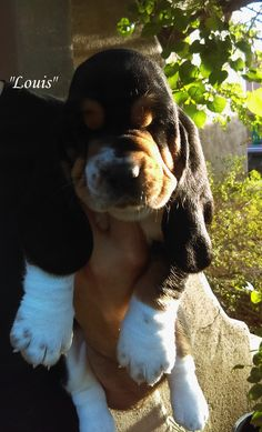 Adorable too cute love that face lol Hound Dog Puppies, Beagle Dog Breed, Basset Puppies, Basset Hound Dog, Cute Puppies, Cute Dogs, Animals Beautiful, Cute Animals, Hound Breeds