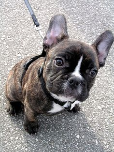 """Acquire wonderful pointers on """"bulldog puppies"""". They are on call for you on our internet site. Brindle French Bulldog, French Bulldog Puppies, Mini French Bulldogs, Brindle Boston Terrier, Cute Puppies, Cute Dogs, Dogs And Puppies, Doggies, Animals And Pets"""