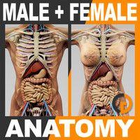 Human Male and Female Anatomy - Body, Skeleton and Internal Organs Human Skull Anatomy, Human Anatomy Model, Anatomy Models, Body Anatomy Organs, Human Body Organs, Human Muscular System, Basic Anatomy And Physiology, 3d Human, Muscle Anatomy