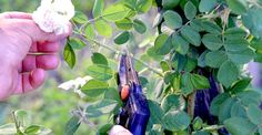 Cum se taie trandafirii urcători după înflorire | Paradis Verde Rose, Flowers, Garden, Planting Herbs, Plants, Herbs, Home And Garden