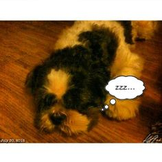Pepperも sleepy #shihtzu #dog #philippines #フィリピン #犬 #シーズー