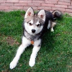 Alaskan Klee Kai... is a dog breed that looks like a toy husky. Too small to pull sleds but giant on the cuteness scale.