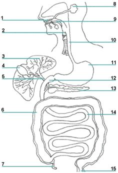 digestive system printout CC CYCLE 3 week 6